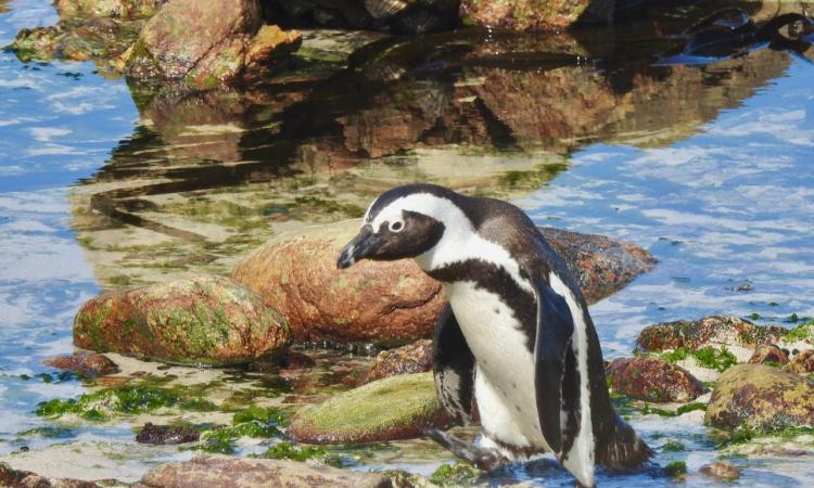Scenic tour: Rooi Els, Pringle Bay and the Penguin colony in Betty's Bay