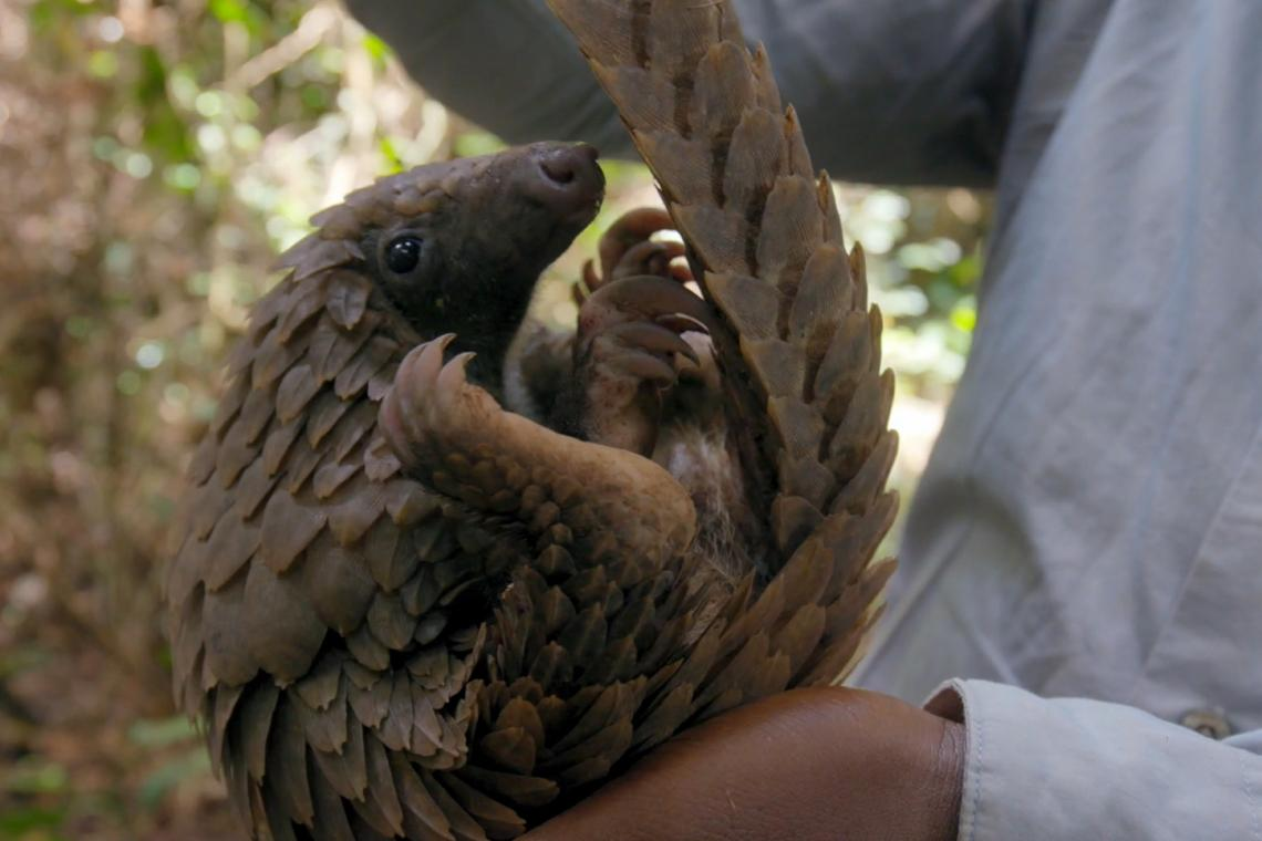Can Youtube Save the Pangolin? Watch the Eye of the Pangolin Movie Now