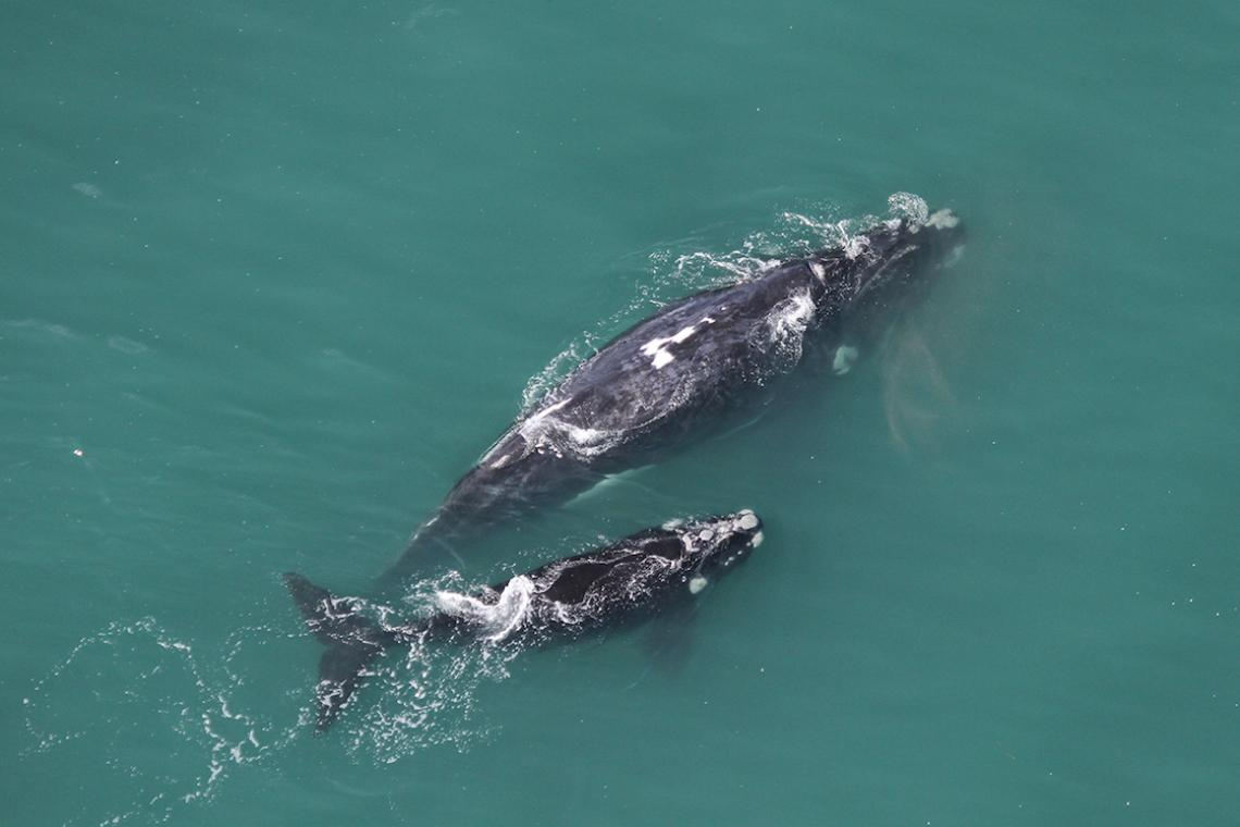 Southern right whale survey 2019 low numbers, concerning?