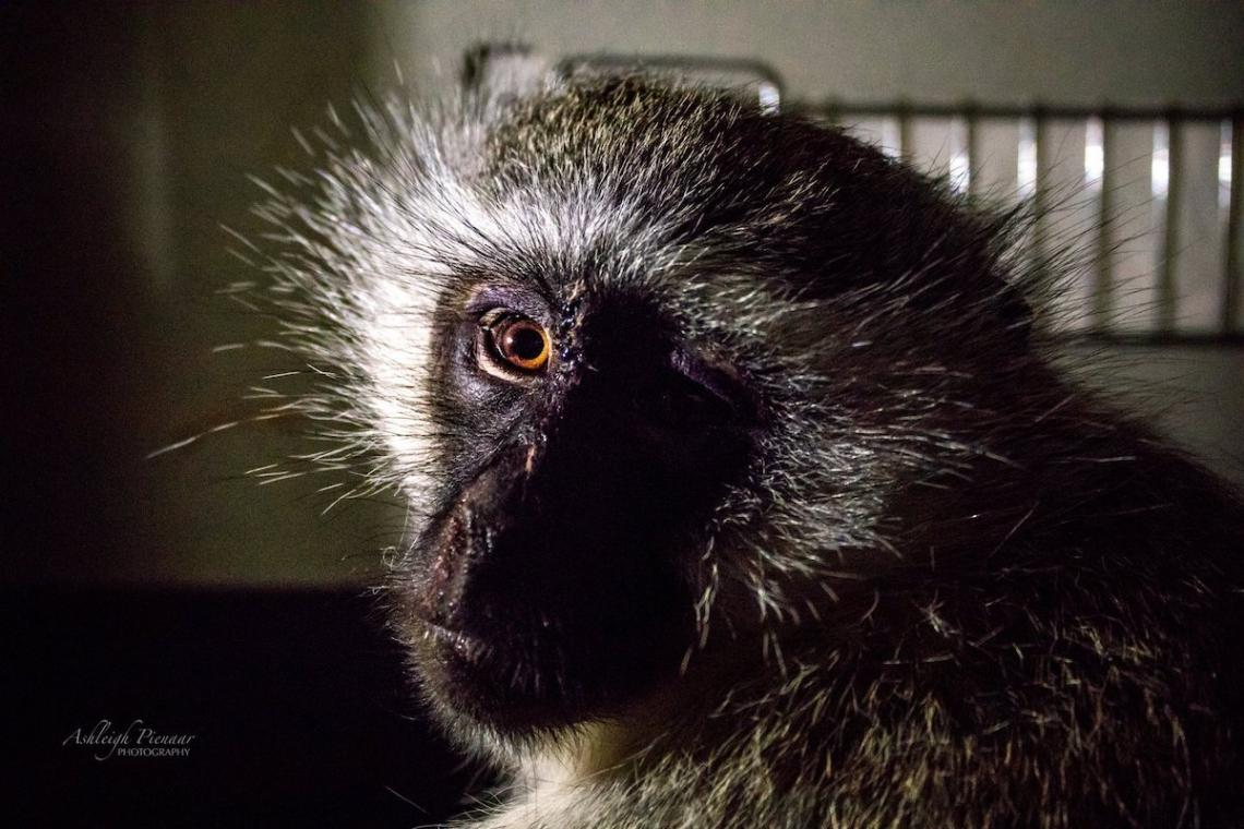 Vervet Monkey Recovering After Vicious Mishandling in Johannesburg