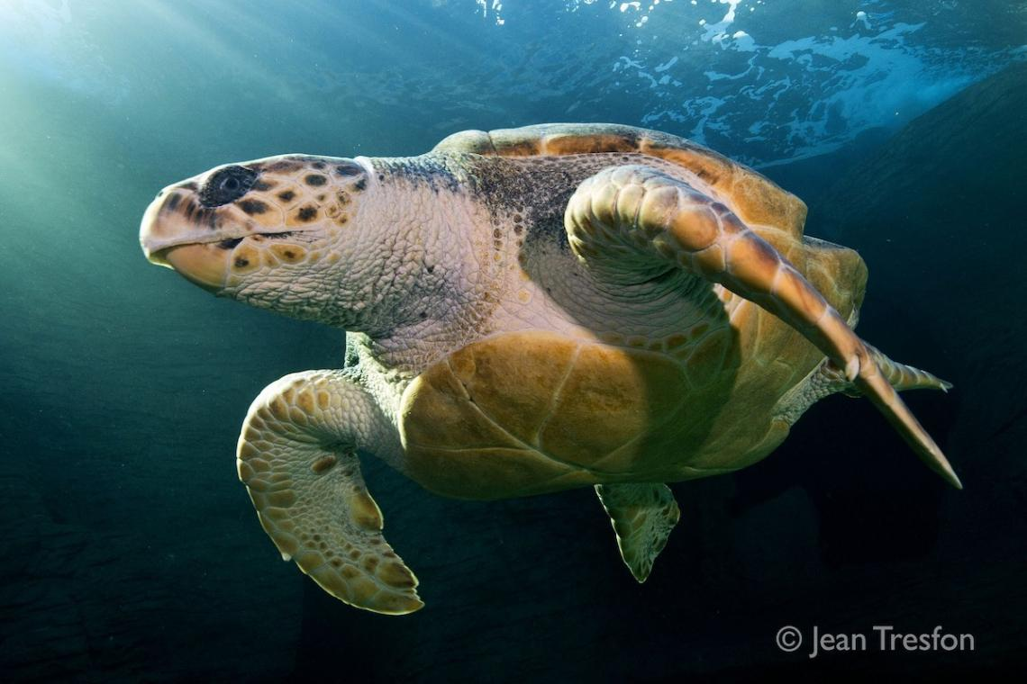 Endangered sea turtle's aquarium release and astonishing global trek