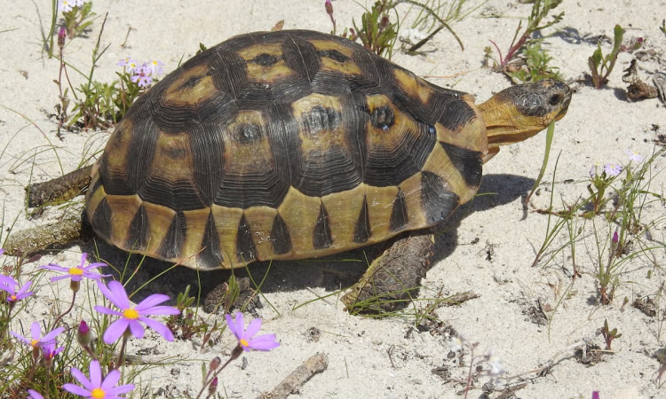 Conserving South Africa's Vulnerable Tortoises