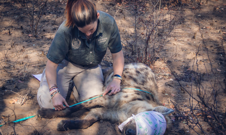 Fellowship of the Clan: Hyena Relocation to Zinave National Park
