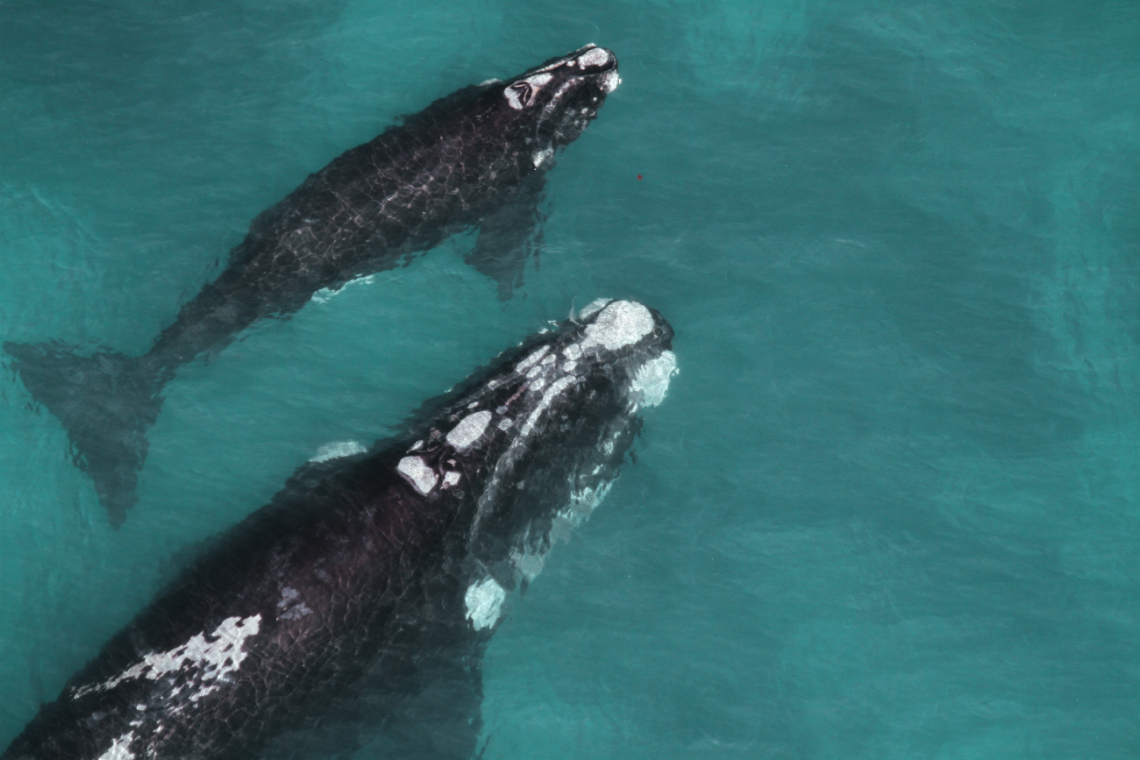 Protecting Whales and Dolphins from Extinction: Call for Global Action