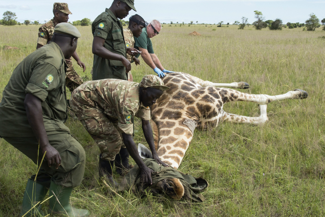 Uganda tourism decline affect conservation
