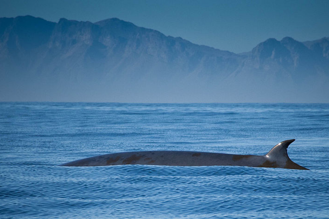 Bryde's Whale: Conservation and Research of this Vulnerable Mammal